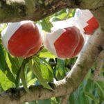 徳島県で桃狩り‼桃の収穫体験が楽しめる果樹園1選