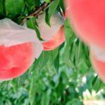 熊本県で桃狩り‼桃の収穫体験が楽しめる果樹園1選