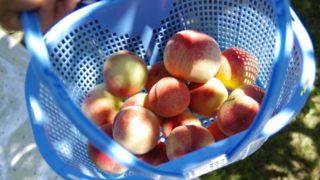 宮城県で桃狩り‼桃の収穫体験や食べ放題が楽しめる果樹園1選
