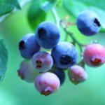 茨城県でブルーベリー狩り‼ブルーベリーの食べ放題や収穫体験が楽しめる果樹園28選