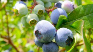 岩手県でブルーベリー狩り‼ブルーベリーの食べ放題や収穫体験が楽しめる果樹園13選