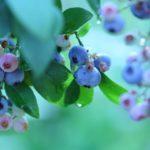 山形県でブルーベリー狩り‼ブルーベリーの食べ放題や収穫体験が楽しめる果樹園7選