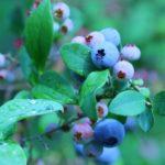 新潟県でブルーベリー狩り‼ブルーベリーの食べ放題や収穫体験が楽しめる果樹園8選