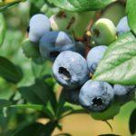 東京都でブルーベリー狩り‼ブルーベリーの食べ放題や収穫体験が楽しめる果樹園26選