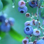 島根県ブルーベリー狩り‼ブルーベリーの食べ放題や収穫体験が楽しめる果樹園10選