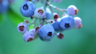 愛媛県ブルーベリー狩り‼ブルーベリーの食べ放題や収穫体験が楽しめる果樹園12選