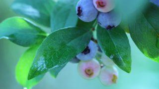 岡山県でブルーベリー狩り‼ブルーベリーの食べ放題や収穫体験が楽しめる果樹園15選
