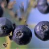 香川県ブルーベリー狩り‼ブルーベリーの食べ放題や収穫体験が楽しめる果樹園3選