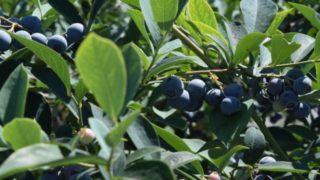熊本県ブルーベリー狩り‼ブルーベリーの食べ放題や収穫体験が楽しめる果樹園11選
