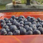 宮崎県ブルーベリー狩り‼ブルーベリーの食べ放題や収穫体験が楽しめる果樹園9選