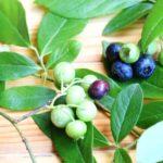 鹿児島県ブルーベリー狩り‼ブルーベリーの食べ放題や収穫体験が楽しめる果樹園11選