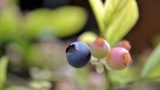 青森県ブルーベリー狩り‼ブルーベリーの食べ放題や収穫体験が楽しめる果樹園7選