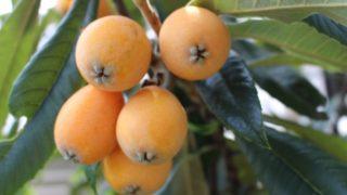 千葉県びわ狩り‼びわの食べ放題が楽しめる果樹園9選